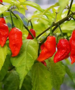 Chilipepers-bhut-jolokia